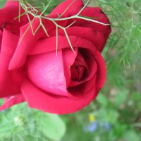 Її величність - Роза :: Марьяна