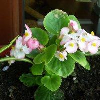 Нежные цветы :: татьяна