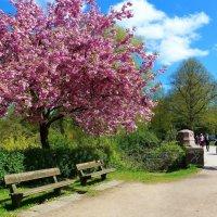 Апрель в городском парке (серия). Скамейки под сакурой :: Nina Yudicheva