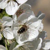 цветущая вишня :: оксана