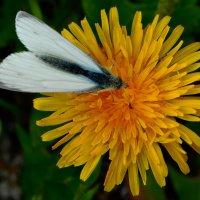Бабочка :: Арина Саенко