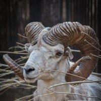 Сибирский козел :: Владимир Габов