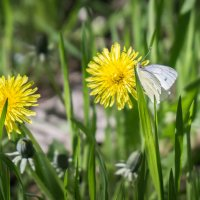 Бабочка на цветке. :: Клаус