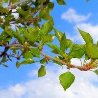 Клейкие листочки тополя радуют глаз :: Андрей Заломленков