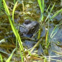 Лягушка в пруду. :: Марина Китаева