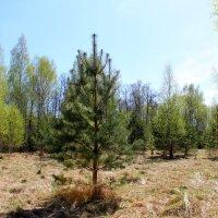 Весенний лес радует глаз :: Катя Бокова