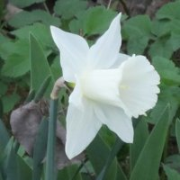Белый цветок весны :: Дмитрий Никитин