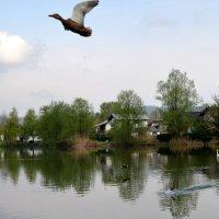 а утки уже летят высоко... :: Сергей Короленко