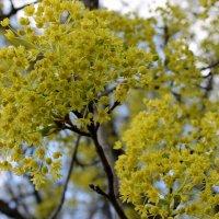 Клёны цветут. :: Валентина ツ ღ✿ღ