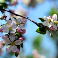 Расцветали яблони и груши... :: Татьяна Евдокимова