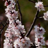 Абрикоса цветёт... :: Татьяна Кретова
