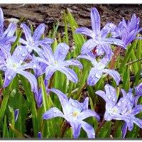 весенние цветы :: ВладиМер