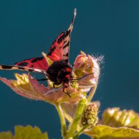 Ночная бабочка на молодых побегах винограда. :: Владимир M