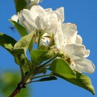 Яблоневый цвет... :: Тамара (st.tamara)