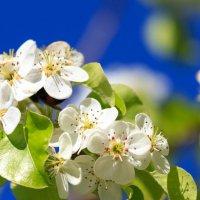 Цвет яблуни :: Aleksandr Geraimovich
