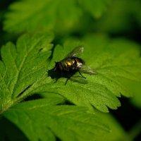 Лето...,как же без мухи.... :: владимир