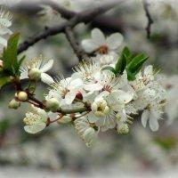 Цветут сады :: Сергей Карачин