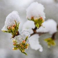 Яблони в снегу... :: Вячеслав Овчинников