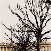 Питерские деревья :: Galina Belugina