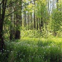 весенний лес :: оксана