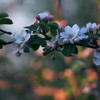 Вечер в яблоневом саду :: Екатерина Торганская