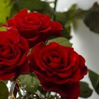 Красные розы :: Владимир Беренда