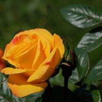 Мистическая красота розы :: Swetlana V