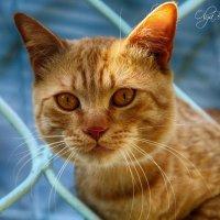 Пушок))Соседский кот :: Ольга Бархатова