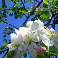 Яблонька цветет ! :: Татьяна ❧