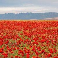Алый ковёр Дагестана :: Андрей Вигерчук