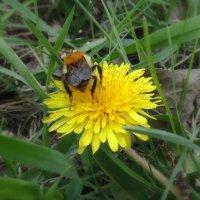 Одуванчик любят пчёлки. :: Мила Бовкун
