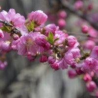 Сакура цветёт. :: юрий Амосов