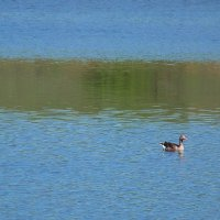 Дикие гуси на пруду.... :: Любовь К.