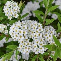 Весеннее цветение спасает от хандры. :: Татьяна Помогалова