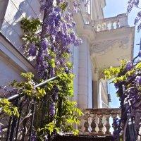 глициния на Ливадийском дворце :: Елена
