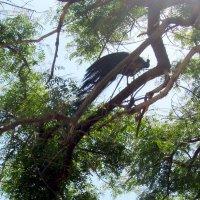 Павлин на дереве :: Герович Лилия