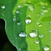 После дождя листик хосты :: Galina Belugina
