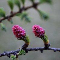 Лиственница цветёт! :: Анастасия Стародубцева