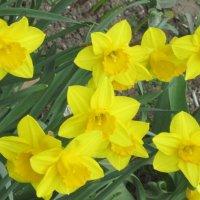 Жёлтые цветы апреля :: Дмитрий Никитин