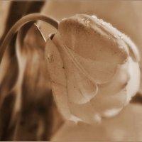 Так хочется тюльпанов в феврале! :: Людмила Богданова (Скачко)