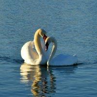 Не стреляйте в белых лебедей! :: Ольга Голубева