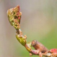 виноград растет.. :: юрий иванов