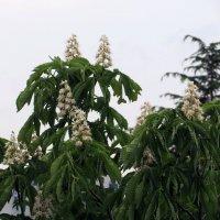 Цветы каштана :: Наталья Джикидзе (Берёзина)
