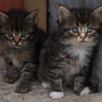 Котята :: Алиса *****