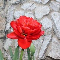 махровый тюльпан :: Наталья Золотых-Сибирская