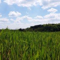 Молодая пшеница :: Валерий Розенталь