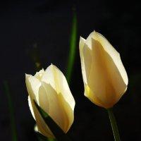 Тюльпаны :: Виолетта Король