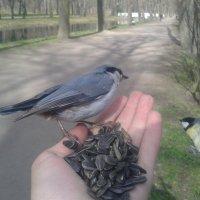 Птицы :: Сапсан