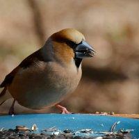 дубонос за обедом :: linnud