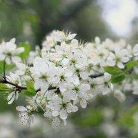 Цветки вишни :: Татьяна Колганова